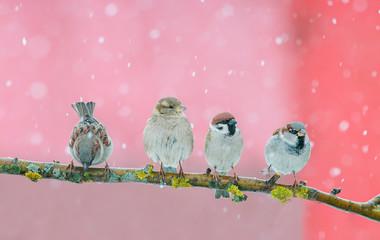 Fototapete - four small bird Sparrow sitting in festive new year winter Park under snowfall
