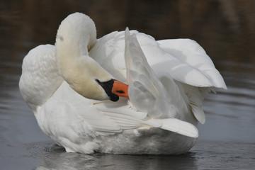 Poster Cygne white swan on the lake