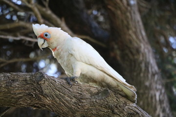 White Cacatua sanguinea at Cottesloe Beach in Perth, Australia Oceania