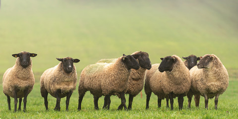 Papiers peints Sheep a cute group of sheep on a pasture stand next to each other and look into the camera