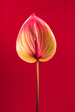 Beautiful anthurium flower in the center on red background. Vertical photo.