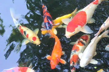 Blur picture of carp fishes swims under water surface.top view