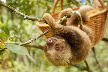 sloths (sloth) of an animal rescue center feed on a tree