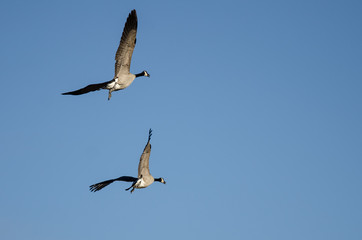 Fototapete - Pair of Canada Geese Flying in a Blue Sky