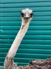 Poster Struisvogel portrait of an ostrich