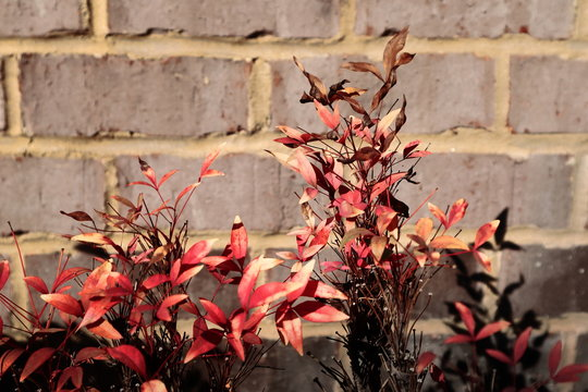 PLant with Autumn Colors against a Brick Wall