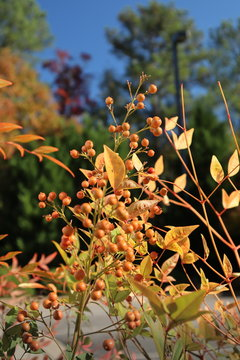 Yellow Plant with Gold Berries