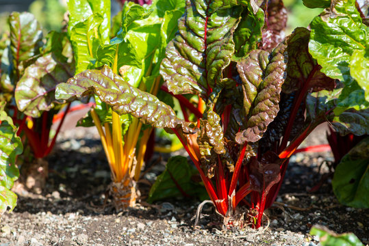 Swiss chard  or beta vulgaris growing in dark soil. The stems of the long leaves are bright red and yellow. The vegetables are in a garden row. The ruby red plants have long crimson stems and veins.