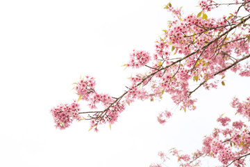 Beautiful cherry blossom or sakura in spring time over sky
