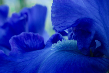 Foto op Canvas Iris Bright blue iris flowers close up view macro