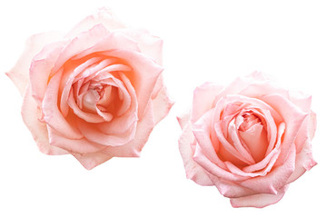 Blurred for Background.Beautiful Pink rose isolated on the white background. Photo with clipping path.