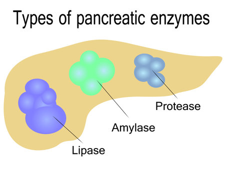 Types of pancreatic enzymes vector illustration on a white background