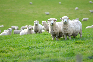Papiers peints Sheep New Zealand scenery