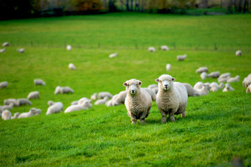 In de dag Schapen New Zealand scenery