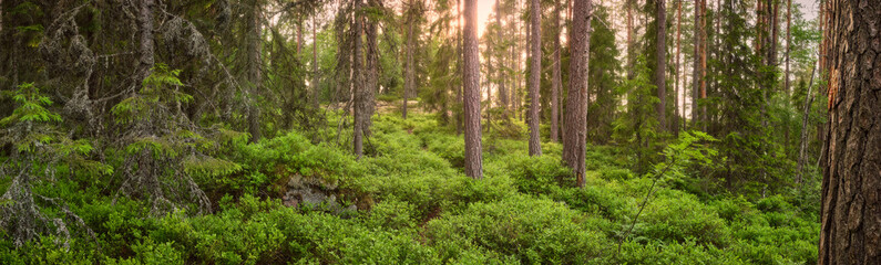 Panorama of a forest with pine trees and bright colors with the sun shining in the background