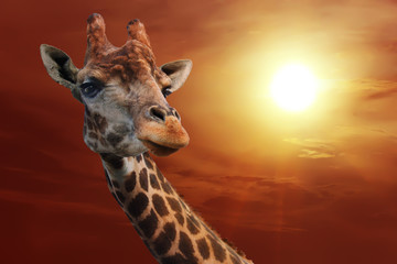Giraffe on a background of cloudy sky at sunset.