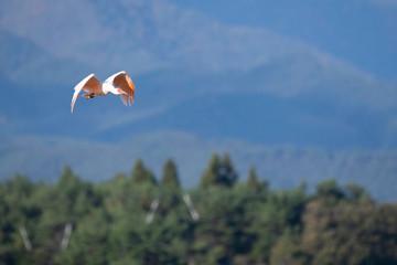 Japanese creseted ibis flying in Sado Island