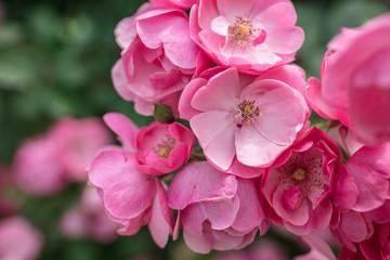 LWTWL0025933 begonia flowers blooming background