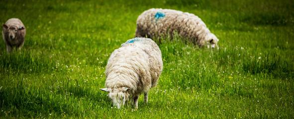 Fond de hotte en verre imprimé Sheep Scenic Scotland meadows with sheep in traditional landscape.