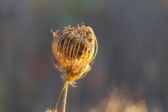 Dry wild carrot flower in autumn. Queen Anne's lace, bishop's lace  or  Daucus carota. Place for text, selective focus.