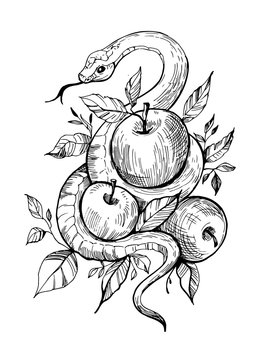 Snake with apples. Hand drawn illustration converted to vector. Great for prints on a t-shirt, tattoo sketch.