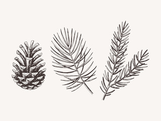 Hand drawn conifer branches and cones. Vector illustration of spruce and pine