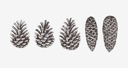 Hand drawn conifer cones. Vector illustration of spruce and pine cones