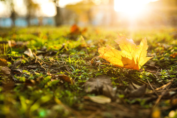 Autumn leaf on green grass in park. Bokeh effect