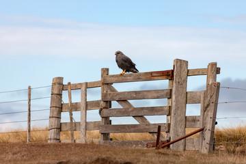 Variable Hawk - Carcass Island in the Falkland Islands