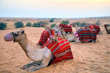 camels resting  in the desert