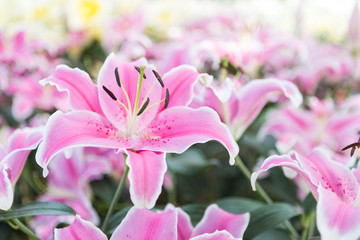 Beautiful pink lilly flower background, outdoor day light, spring season concept