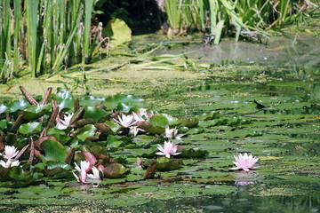 Foto op Canvas Waterlelies Rose water lily. Rare flower.