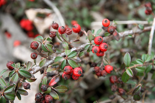 Cotoneaster, red autumn berries