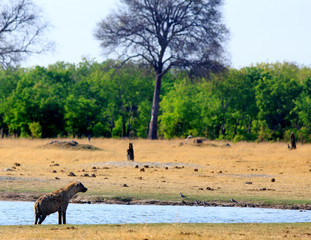 Spotted Hyena standing on the edge of a small waterhole with a natural bush and tree lined backdrop in Hwange National Park, Zimbabwe.
