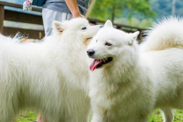 サモエド samoyed 白い犬 犬