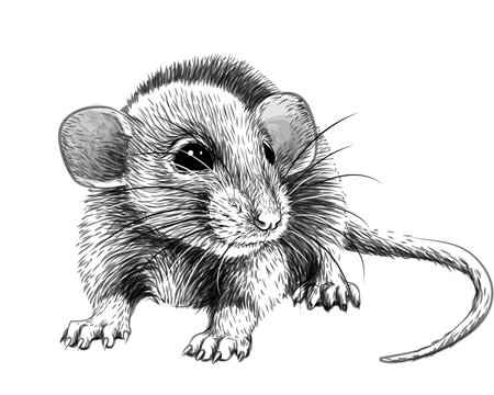 Mouse. Hand-drawn, graphic, black and white sketch portrait of a mouse on a white background.