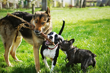 Three friendly happy playing dogs in summer park. German shepherd, american staffordshire terrier and french bulldog holding one stick. Different dog breeds have fun together. Fototapete