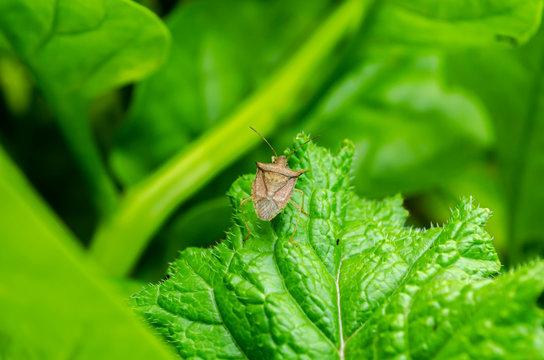 Stink Bug On Radish Leaf