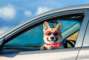 trendy funny ginger Corgi dog puppy in sunglasses and headscarf leaned out the car window on the road during the trip and took out his tongue