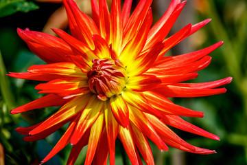 Bold Bright Orange Dahlia
