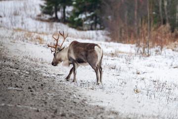 Reindeer in winter Norway at Helgeland in Nordland county