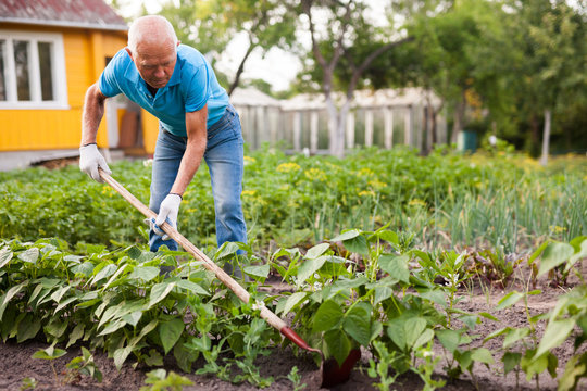 Mature man weeds with a hoe the garden bed