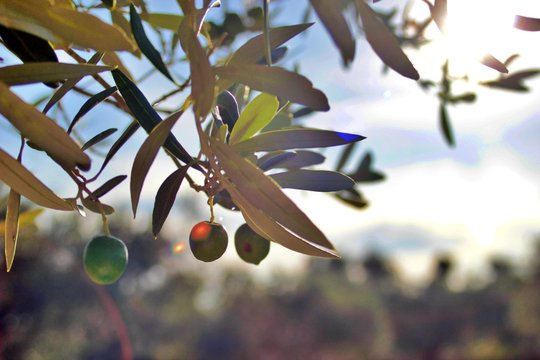 Olive close-up of the Arbequina variety ready for harvest