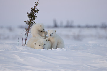 In de dag Ijsbeer Polar Bear Family in Wapusk National Park