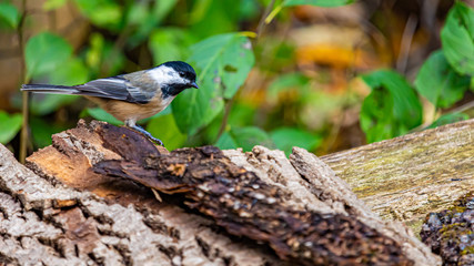 Side View of a Black-Capped Chickadee in a Forest