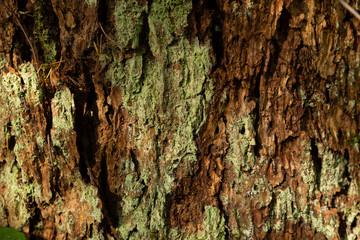 Textured tree bark with green litchen