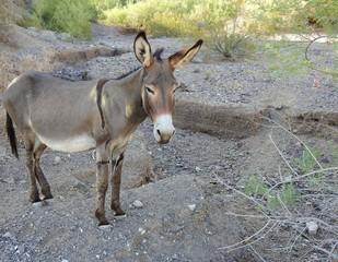 Curious wild burro, Bethlehem Donkey, Chemehuevi Mountains, Parker, California.