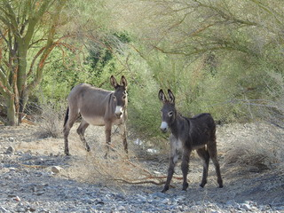 A pair of wild burros making their way across the rugged desert, Chemehuevi Mountains, Parker, California.