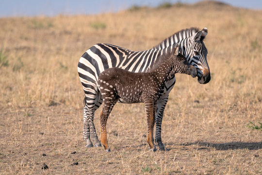 Rare zebra foal with polka dots (spots) instead of stripes, named Tira after the guide who first saw her, with its mother. Image taken in the Masai Mara National Park in Kenya.