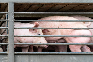 Truck transport pigs